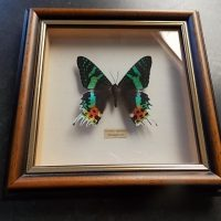 SOLD Stunning Taxidermy Butterfly SOLD